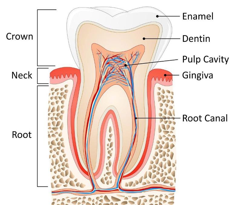 Root Canal in St. Paul MN